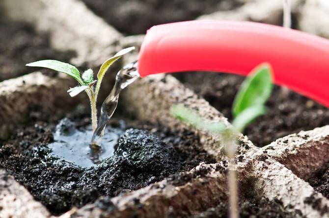 Полив сеянцев необходимо проводить очень осторожно, так как растения еще хрупкие и их можно легко повредить.