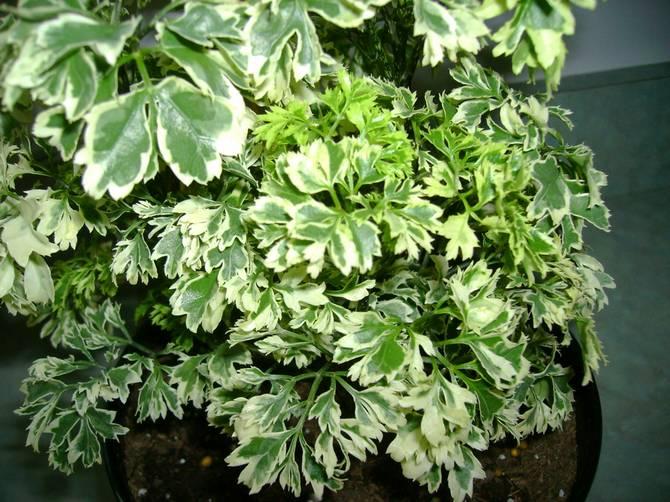 Удобрять растение нужно в период его активного роста, а именно весной и летом.