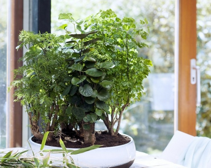 Полисциас фабиан уход в домашних условиях фото, polyscias filicifolia