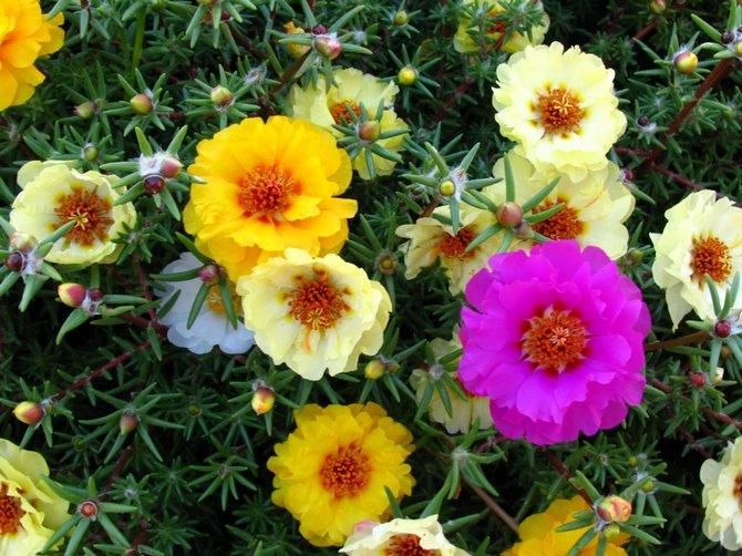 Портулак – посадка и уход. Выращивание цветов портулака из семян. Описание, виды. Фото