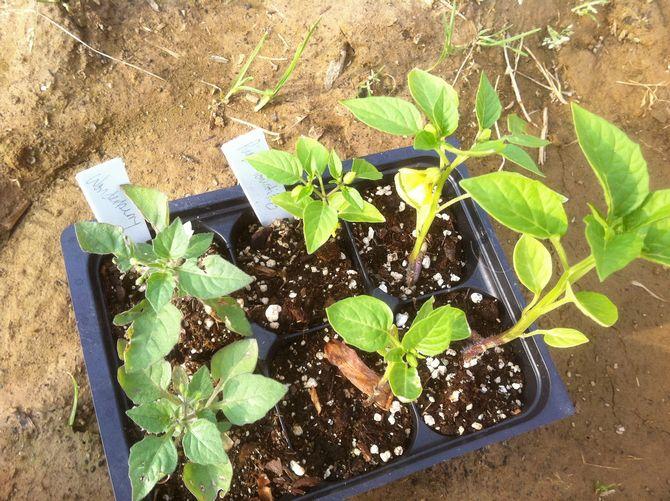 Как получить рассаду санберри