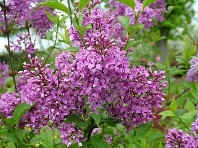 Сирень завоевала сердца садоводов за красивые метельчатые соцветия с мелкими душистыми цветами.