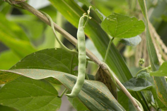 Особенности выращивания и ухода за спаржевой фасолью