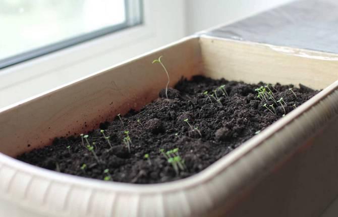Выращиваем тимьян на подоконнике