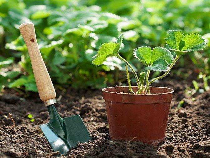 Как посадить ремонтантную землянику