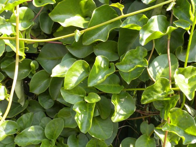 Анредера – уход в домашних условиях. Выращивание анредеры, пересадка и размножение. Описание, виды. Фото