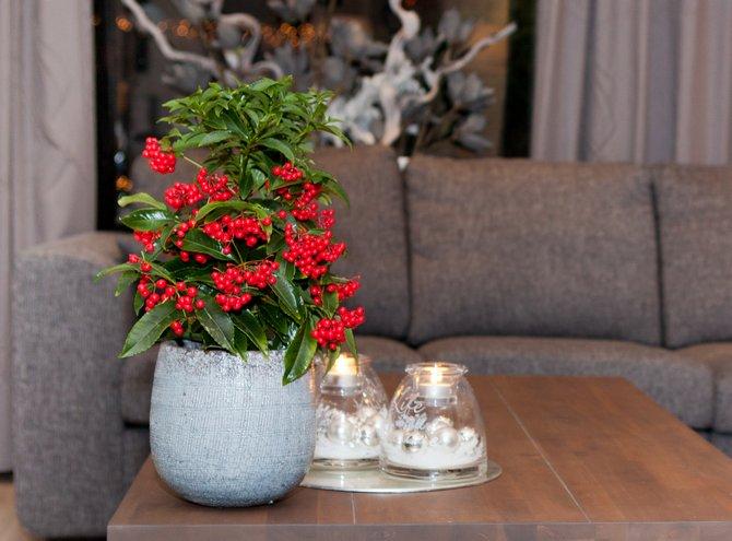 Уход за ардизией в домашних условиях