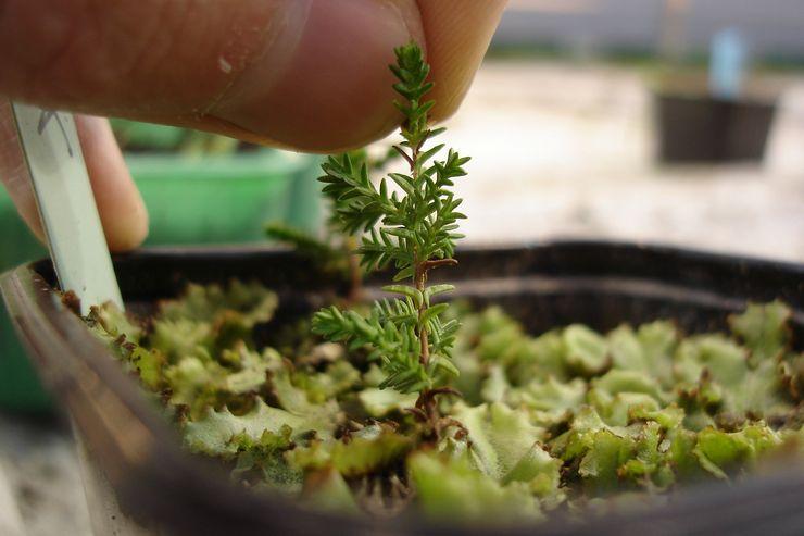 Выращивание вереска из семян