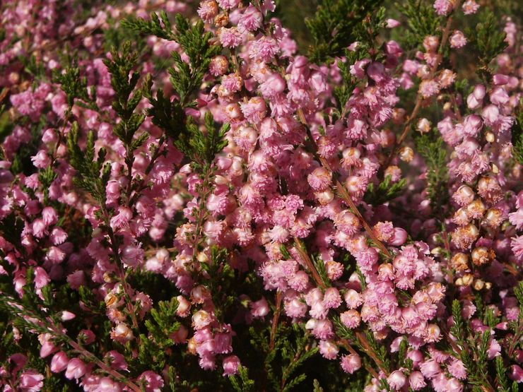 Сорта вереска с махровыми цветками