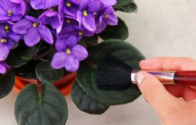Как чистить растения с опушенными листьями