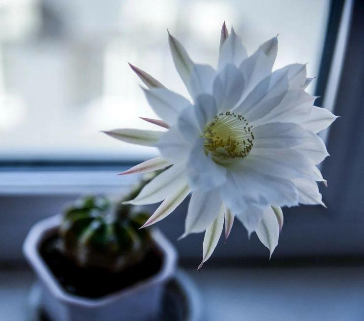 Цветение эхинопсиса