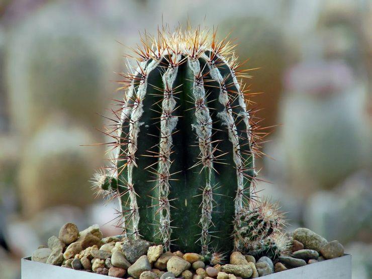 Растение эхинопсис