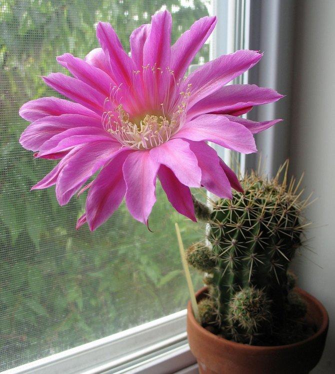 Уход за кактусом эхинопсис в домашних условиях