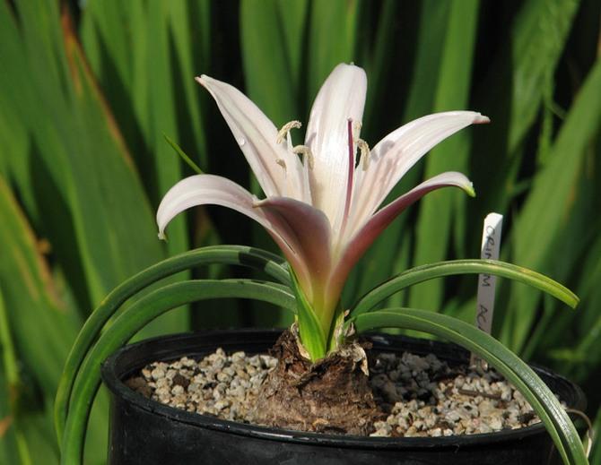 При появлении первых молодых листьев можно вносить первую подкормку.