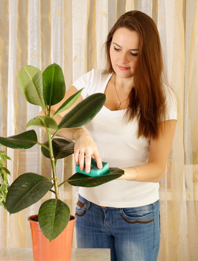 Чистим большие гладкие или кожистые листья