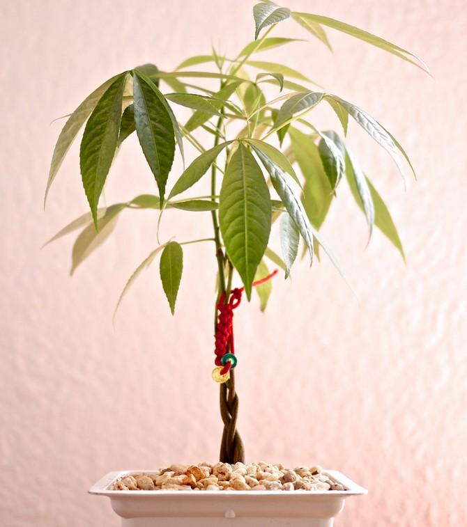 Мастера фэн-шуй пахиру ассоциируют с удачей, материальным благополучием и здоровьем, которое приносит это дерево в дом.