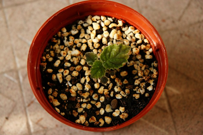 Размножение смитианты