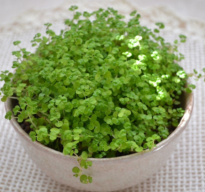 Во время вегетации cолейролии проводят подкормку один раз в 2-3 недели