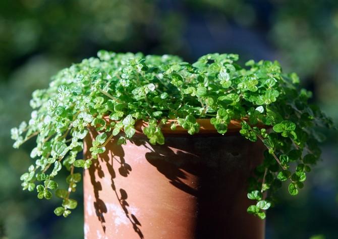 Солейролия – уход в домашних условиях. Выращивание солейролии, пересадка и размножение. Описание. Фото