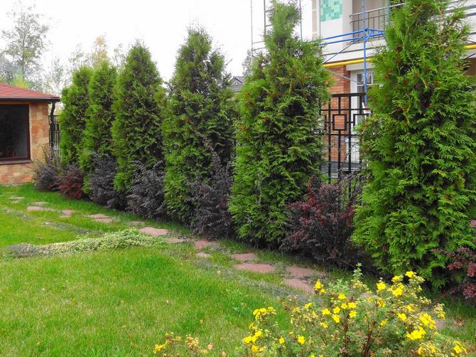 Является хвойным растением, отличающимся высоким ростом (около 6-7 м) и колоновидной кроной.