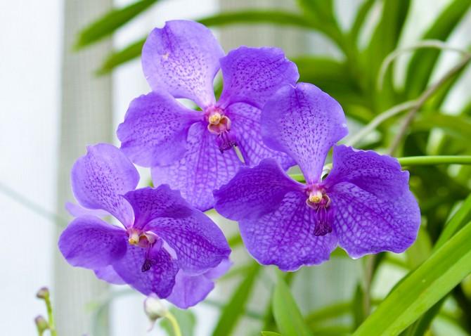Орхидея ванда – уход в домашних условиях. Выращивание ванды, пересадка и размножение. Описание. Фото