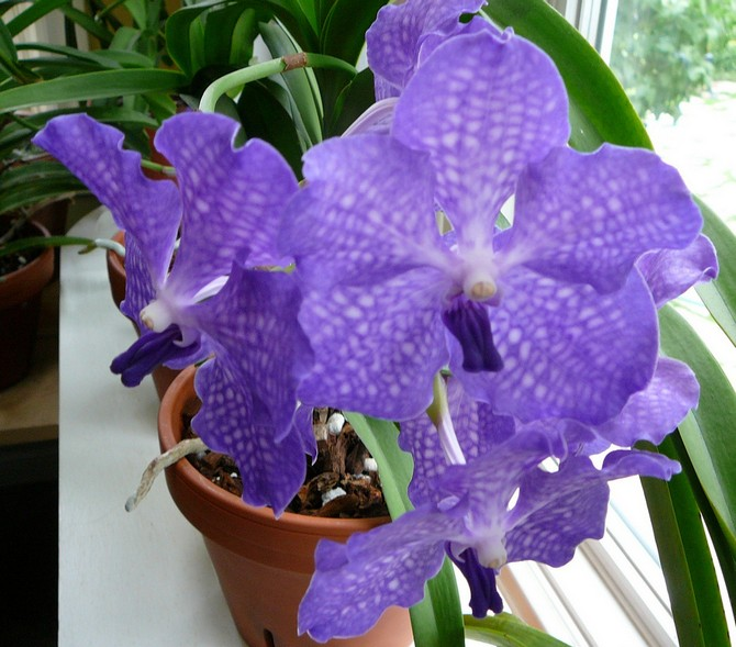 Уход за орхидеей вандой в домашних условиях