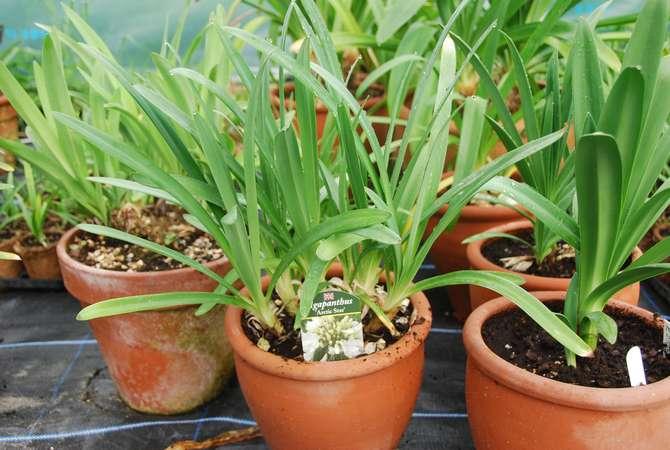 Подкормки агапантуса проводятся только в период с начала весны и до конца лета