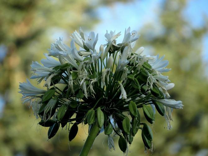 Виды агапантуса