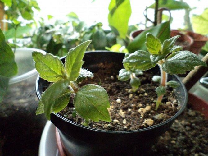 Для бувардии подойдет готовый грунт для декоративно-цветущих растений