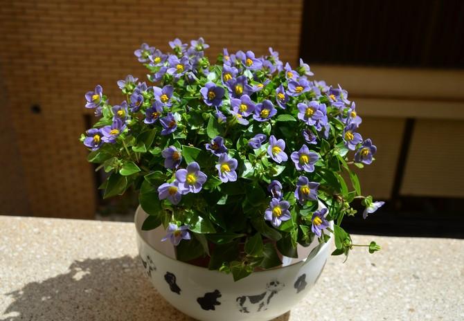 Как и многие комнатные растения, экзакум не является исключением и предпочитает высокую влажность воздуха.