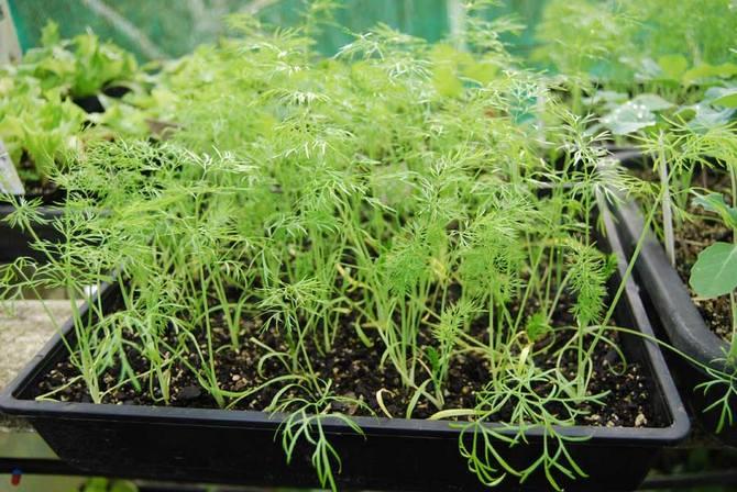 Выращивание фенхеля с помощью рассады