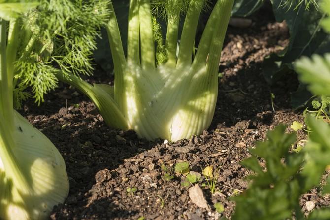 Как выращивать фенхель правильно