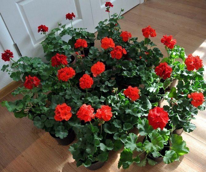 Пеларгония или комнатная герань считается мощным по энергетике комнатным растением.