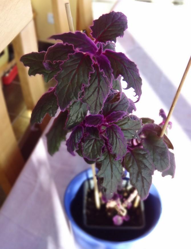 В период вегетации, в весенне-летний период, гинуру подкармливают раз в месяц