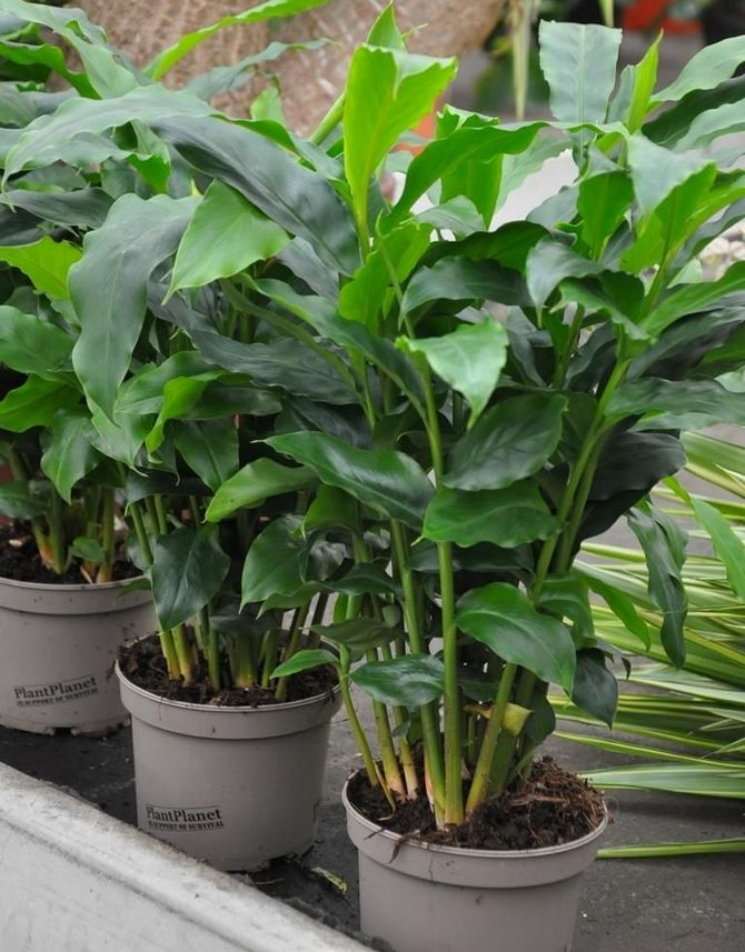 Можно использовать готорый универсальный грунт для декоративно-лиственных ратсений.