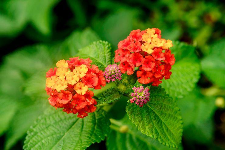 Растение лантана