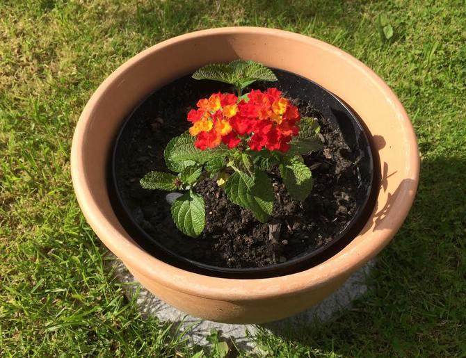 Лантана хорошо реагирует на внесение удобрений в почву.