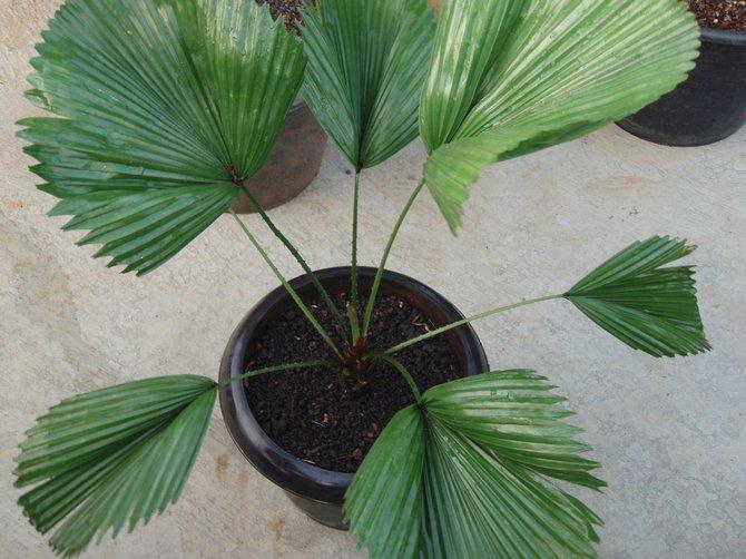 Веерная пальма прекрасно себя чувствует в слабокислой почве.