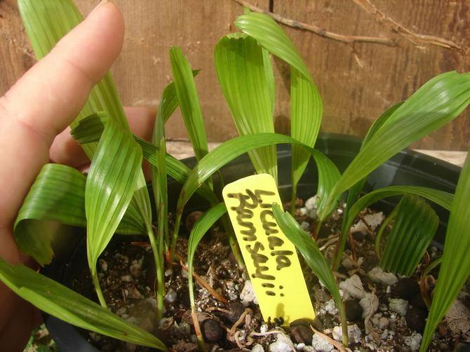 Размножение пальмы ликуалы