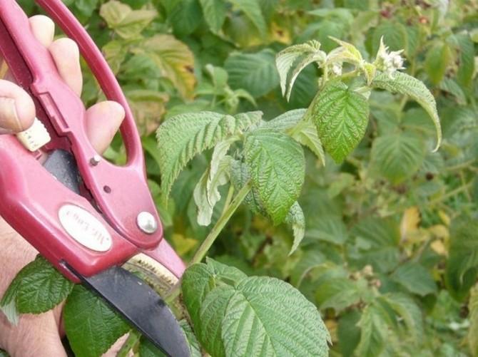 Обрезка кустов является обязательной процедурой при выращивании ремонтантной малины.