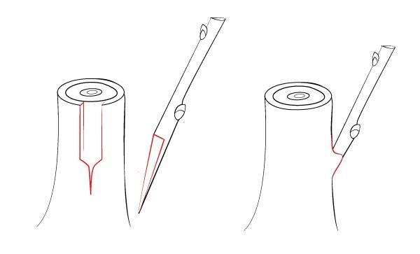 Прививка за кору с шипом