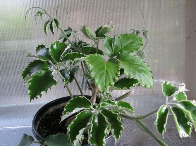 Весной и летом тетрастигма находится в периоде активного роста.