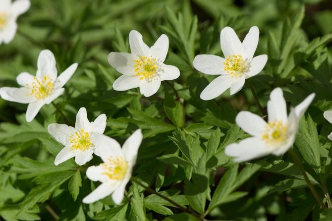 Настоящей драгоценностью сада весной может стать ветреница дубравная