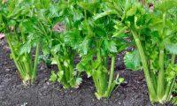 Выращивание черешкового сельдерея на даче: посадка и уход, агротехника. Советы. Видео