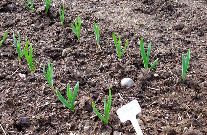 Посадка и выращивание ярового чеснока