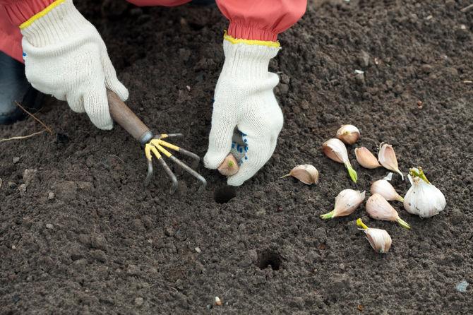 Секреты размножения чеснока