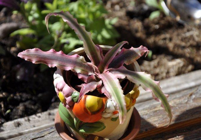 Криптантус – уход в домашних условиях. Выращивание криптантуса, пересадка и размножение. Описание. Фото