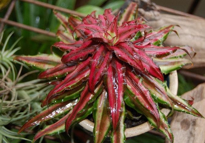 Высокая влажность воздуха, которая создается в оранжерее или террариуме, идеально подходит для выращивания криптантуса.