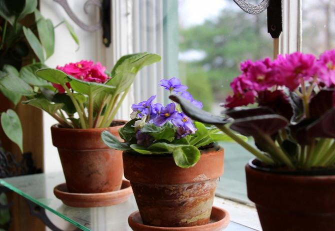 Можно ли пересадить цветущую фиалку — О цветах
