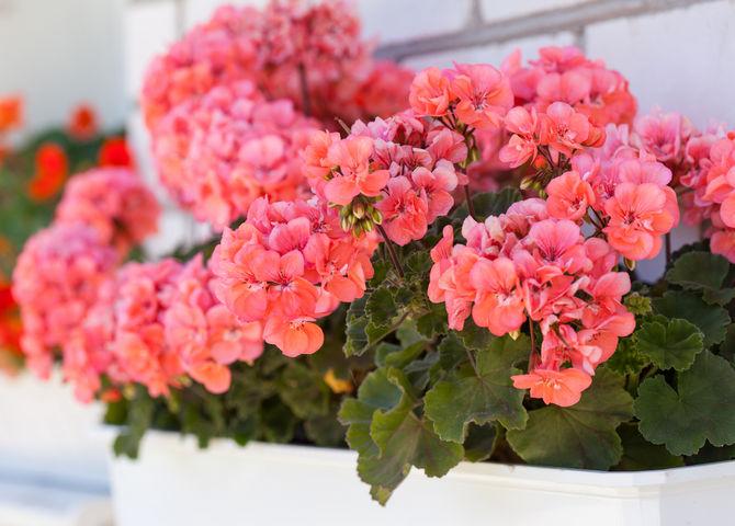 Душистая герань – это ароматное комнатное растение, которое обладает различными ароматами в зависимости от сорта.